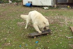 Balkan, chien Berger blanc suisse