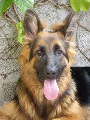 Echo, chien Berger allemand