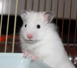 Deagan, rongeur Hamster