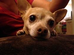 Deasy, chien Chihuahua
