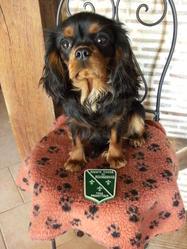 D'lys-Love, chien Cavalier King Charles Spaniel