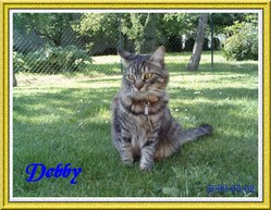Debby, chat Maine Coon
