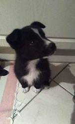 Debby, chien Border Collie
