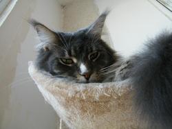 Début D'Année, chat Maine Coon