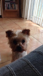 Deby, chien Yorkshire Terrier