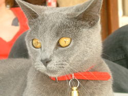 Bouboule, chat Chartreux