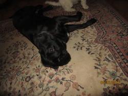 Decibel, chien Labrador Retriever