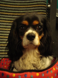 Decibel, chien Cavalier King Charles Spaniel