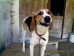 Décibel, chien Anglo-Français de petite vénerie