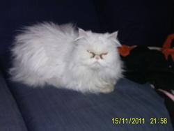 Décibelle, chat Persan