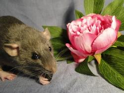 Décibelle, rongeur Rat
