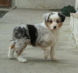 Decky, chien Berger australien