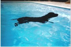 Leo, chien Braque allemand à poil court