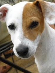 Dédé, chien Jack Russell Terrier
