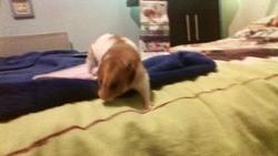 Dedete, rongeur Hamster