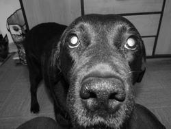 Dee Dee , chien Labrador Retriever