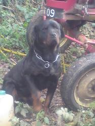 Deejay , chien Rottweiler