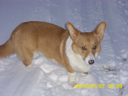Deep, chien Welsh Corgi
