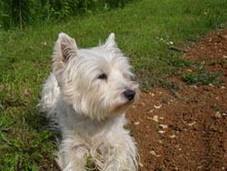 Deep Sea, chien West Highland White Terrier