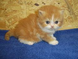 Déesse, chat Persan