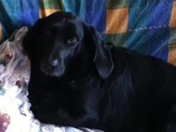 Defender, chien Basset Hound
