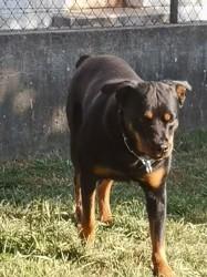 Deika, chien Rottweiler