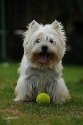 Delbret'S Fest Noz Dite Chipie, chien West Highland White Terrier