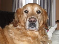 Delco, chien Golden Retriever