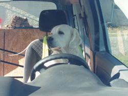 Delfi, chien Golden Retriever