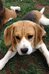 Delgado, chien Beagle