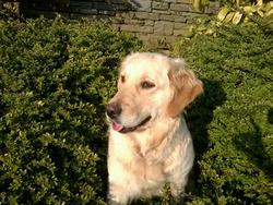 Délia, chien Golden Retriever