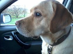 Delia, chien Labrador Retriever