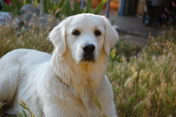Delicatessen Du Ravin Des Arcs, chien Golden Retriever