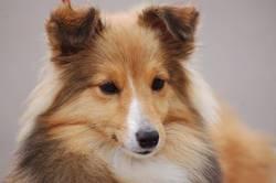 Délice, chien Berger des Shetland