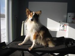 Delsey, chien Berger des Shetland