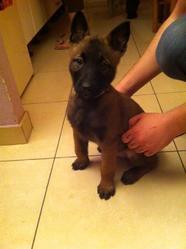 Delta, chien Berger belge