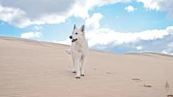 Delta, chien Berger blanc suisse