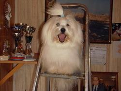 Delta, chien Coton de Tuléar