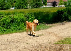 Delta, chien Golden Retriever