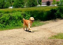 Delta, chien Golden Retriever