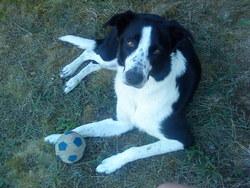 Delya, chien Border Collie