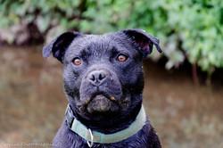 Demon, chien Staffordshire Bull Terrier