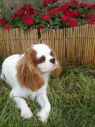 Démon, chien Cavalier King Charles Spaniel