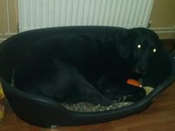 Demon, chien Labrador Retriever