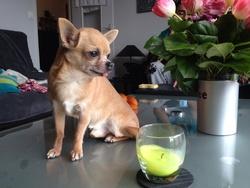 Démon, chien Chihuahua