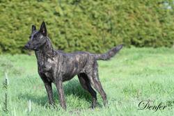 Denfer, chien Berger hollandais