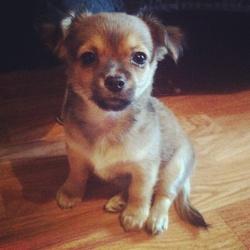 Denver, chien Chihuahua