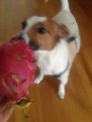 Denver, chien Jack Russell Terrier