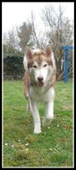 Denver, chien Husky sibérien