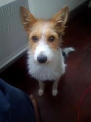 Denza, chien Fox-Terrier